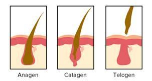 Fases del pelo 1
